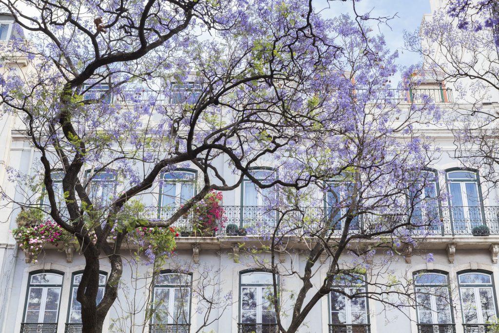 Beautiful Trees over Facade Santos Neighbourhood Lisbon